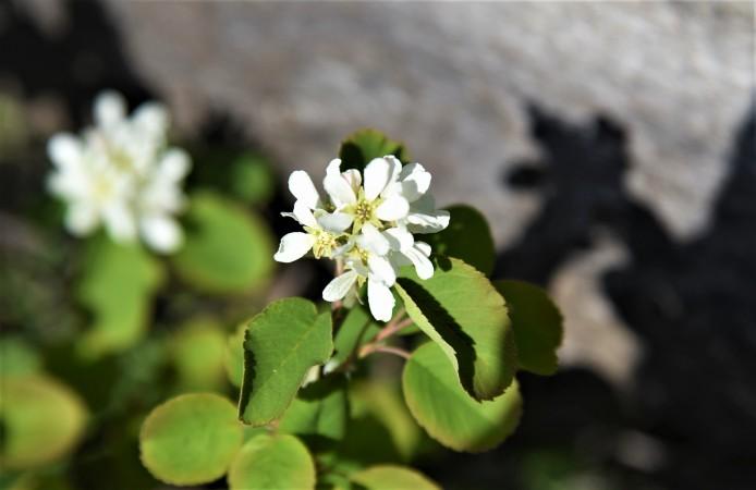 Amelanchier alnifolia Western Serviceberry