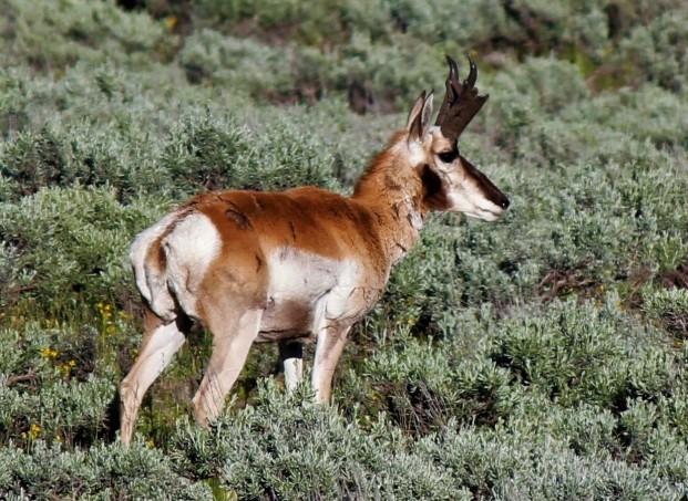 Antelope along Teton Park Road 2