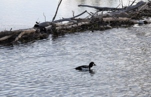 Common Goldeneye at Schwabacher Landing
