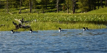 Common Mergansers on Jackson Lake near Colter Bay