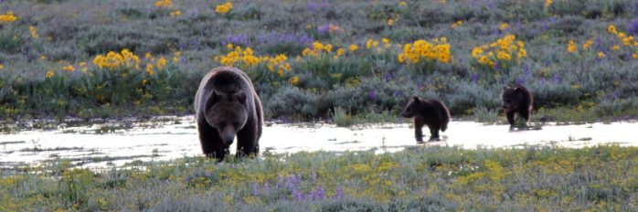 cropped-grizzly-and-cubs.jpg