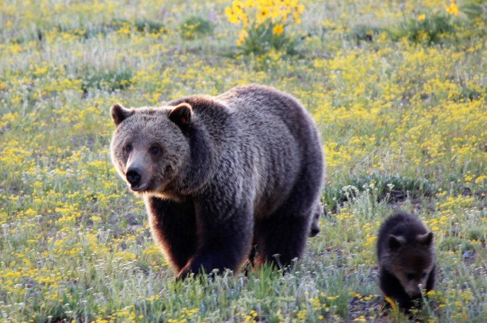 Grizzly and cubs 4