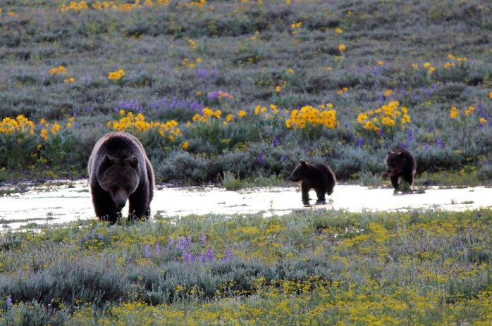 Grizzly andcubs