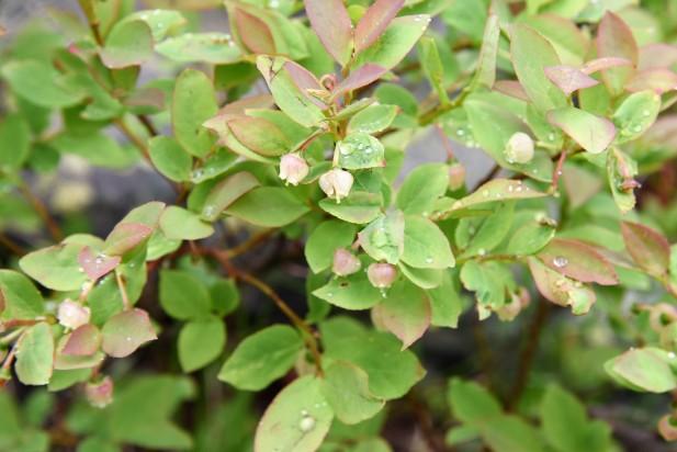 Huckleberry blooming