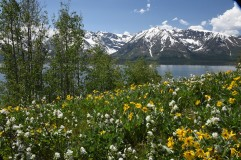 Arrowleaf Balsamroot and Western Amelanchier blooming along Jackson Lake