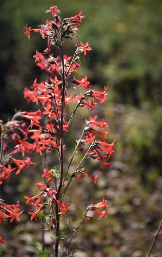 Skyrocket gilia adds a splash of bright color in the sagebrush meadows this time of year