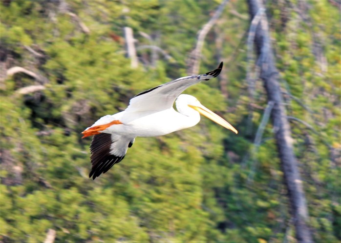 Pelican flying along Snake