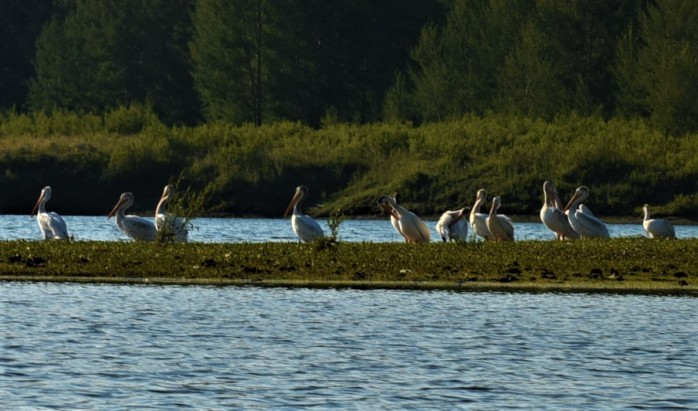 Pelicans at Oxbow 4