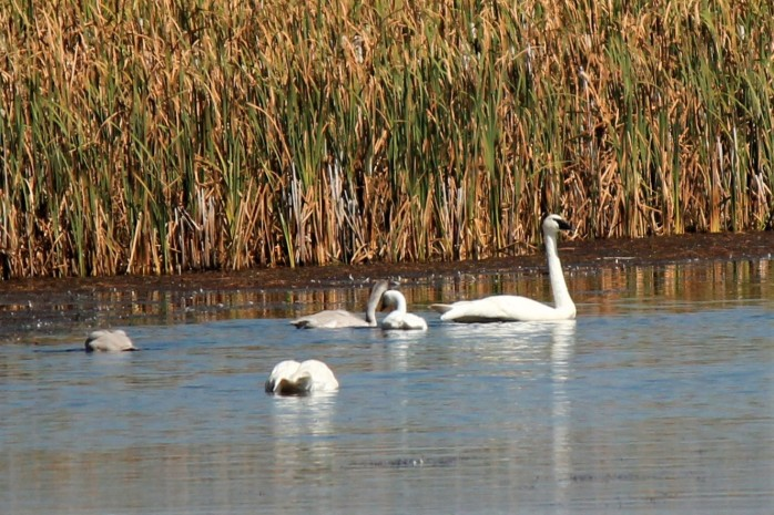 Flat Creek Trumpeter Swan