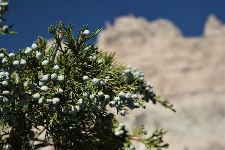 Juniper berries galore!