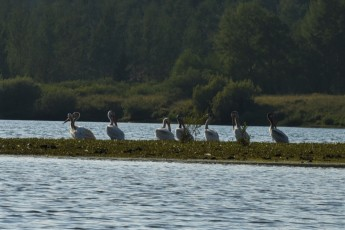 Pelicans at oxbow