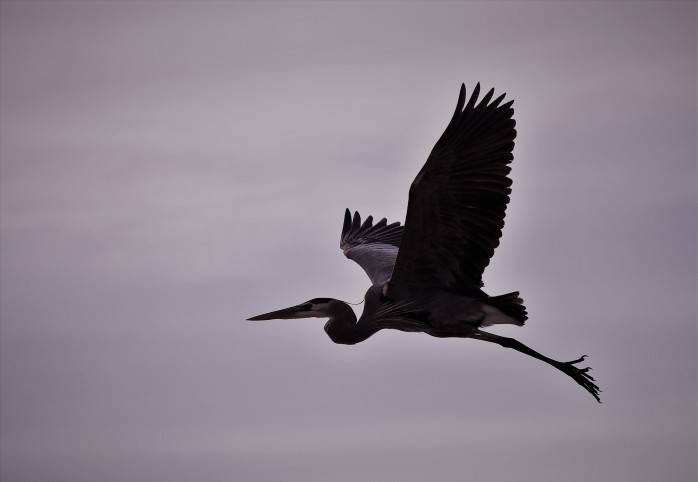 Heron flying silhouette