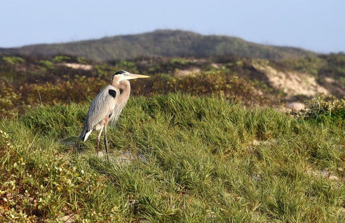Heron on dune early morning