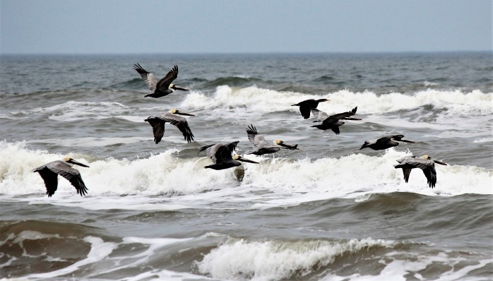 Pelicans flying Padre Island