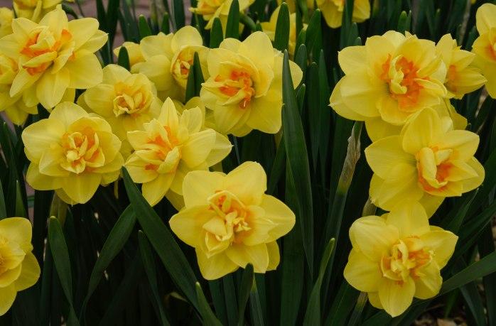 daffodils (1 of 1)