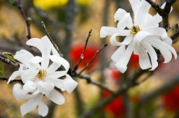 star magnolia (1 of 1)