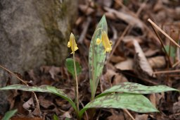 yellow trout lily (1 of 1)