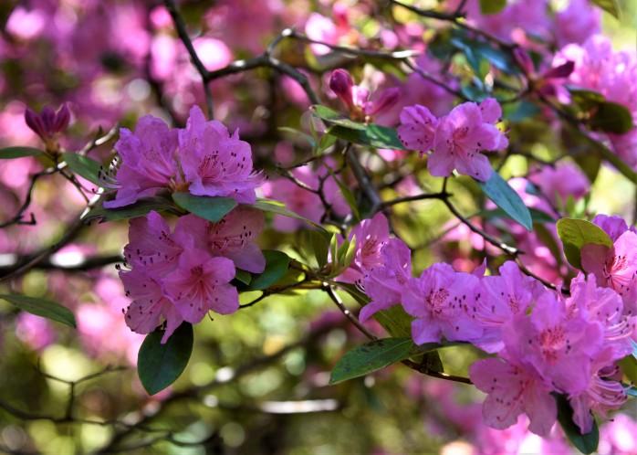 Rhododendron 'Olga Mezitt'