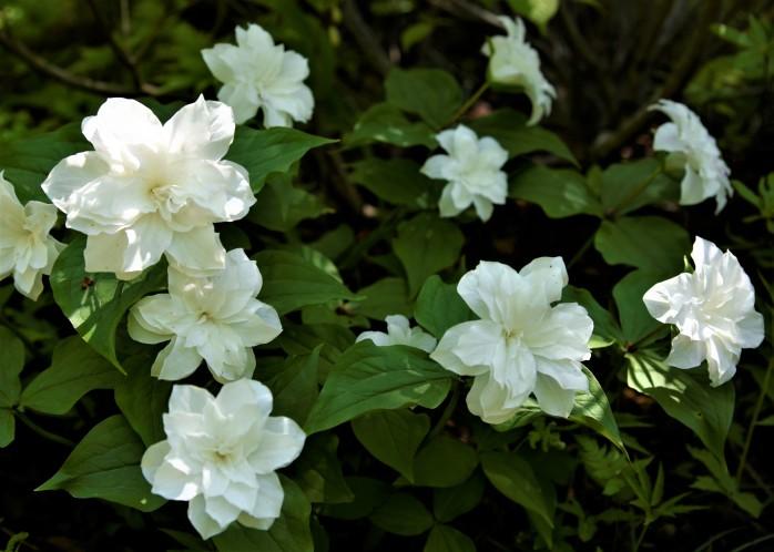 Trillium grandflorum 'Flore pleno'