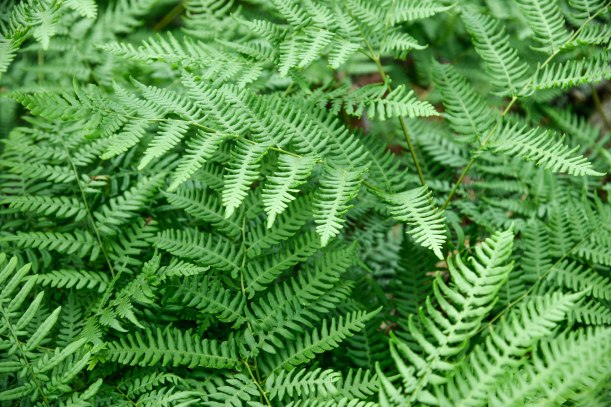 Pemetic Ferns (1 of 1)