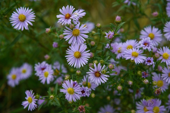 New York Asters (1 of 1)