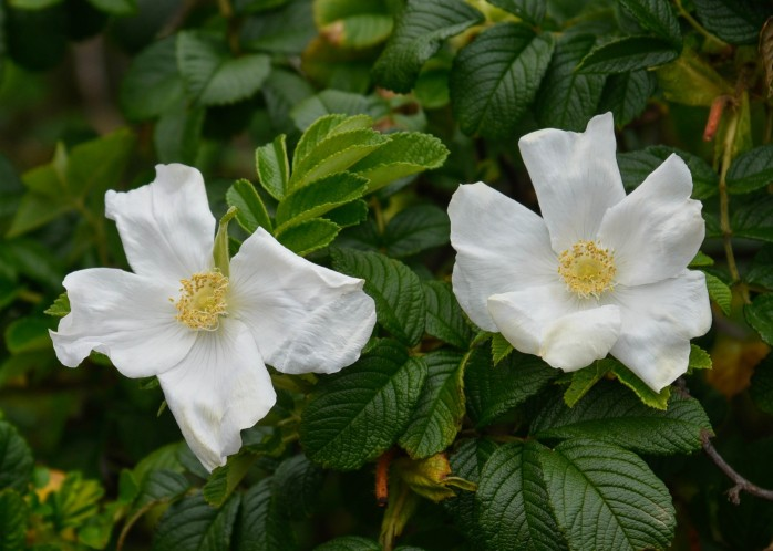 Rosa rugosa white (1 of 1)
