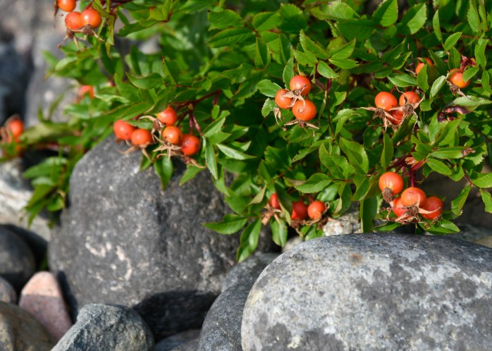 Rose Hips on Hunter Cove Beach (1 of 1)