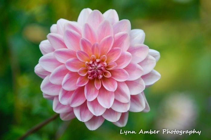 dahlia thuya garden 2018 (1 of 1)