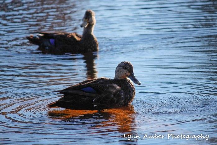 ducks on little long pond (1 of 1)