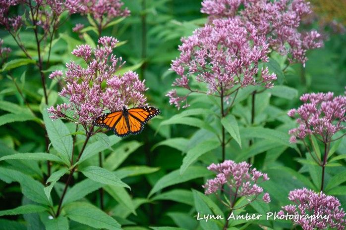 monarch at abby aldrich rockefeller garden 2018 (1 of 1)