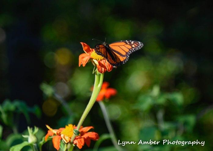 monarch at thuya garden