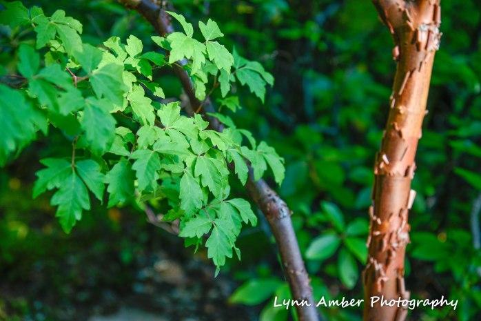 paperbark maple thuya garden 2018 (1 of 1)