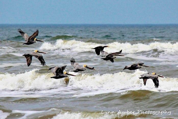 pelicans at padre island national seashore (1 of 1)
