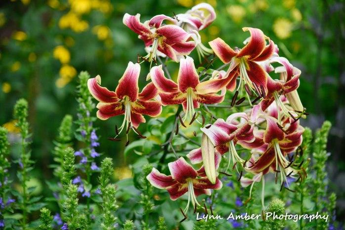 turk's cap lily abby aldrich rockefeller garden 2018 (1 of 1)