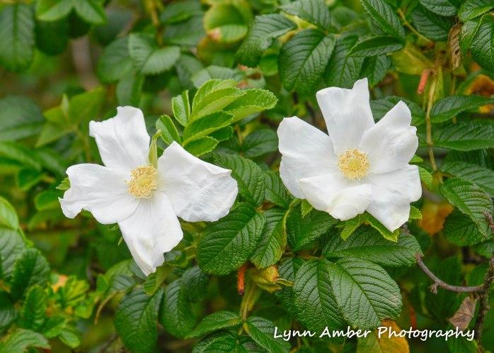 white rugosa rose acacia np 2018 (1 of 1)