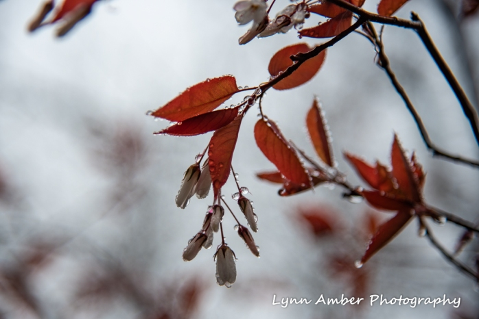 Amelanchier laevis (1 of 1)