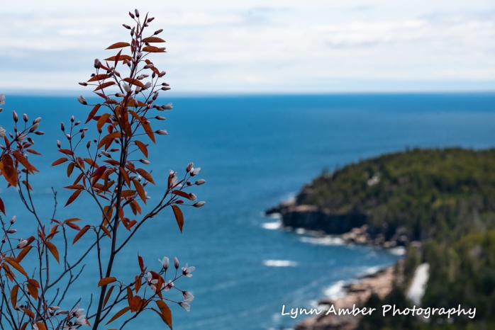 Amelanchier laevis Acadia (1 of 1)