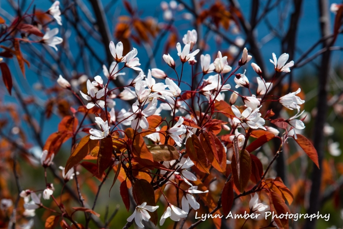 Amelanchier laevis Acadia 2 (1 of 1)