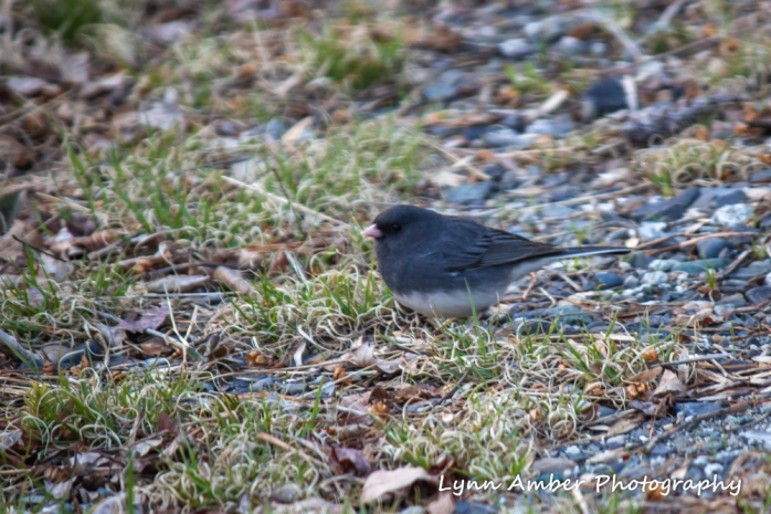Dark-eyed Junco (1 of 1)