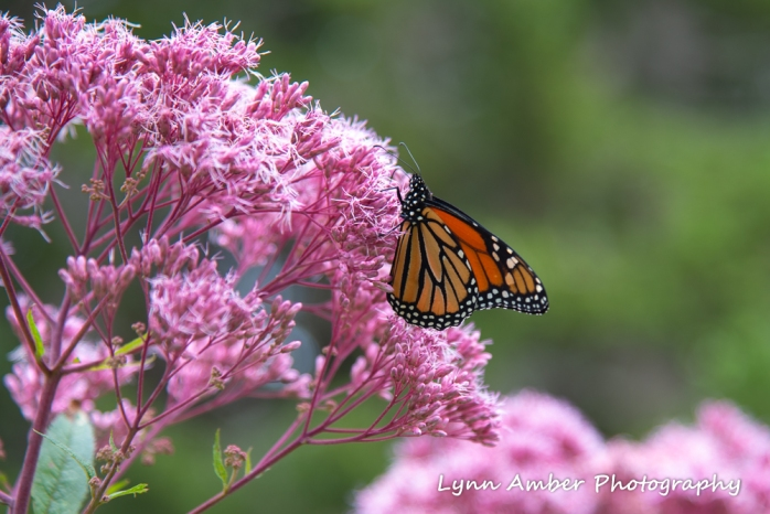 #12 A butterfly - Monarch at Thuya