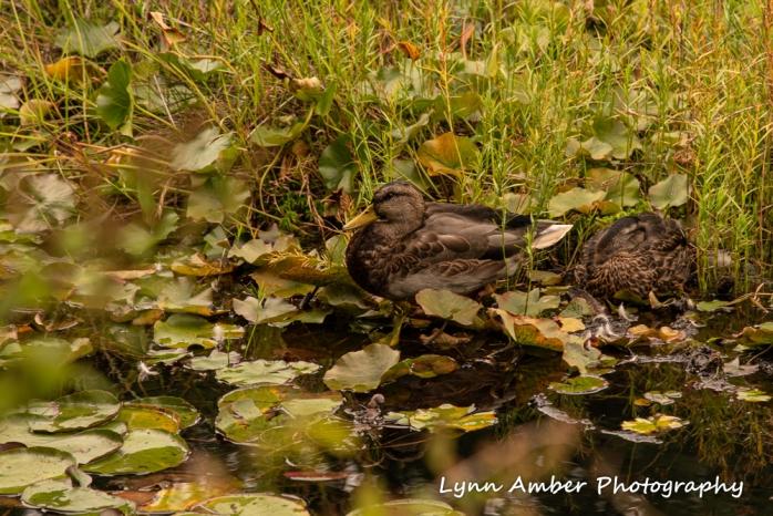 #4 A Bird - ducks near Witch Hole Pond (1 of 1)