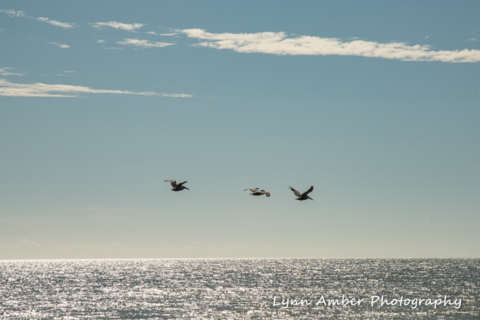 Edisto beach pelicans (1 of 1)