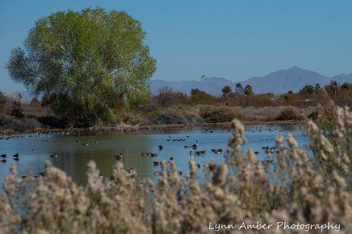 Cibola National Wildlife Refuge Geese