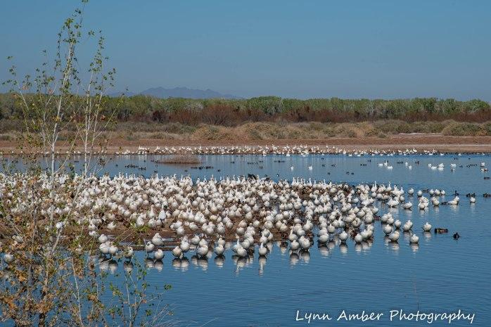 Cibola National Wildlife Refuge Goose Loop Auto Drive