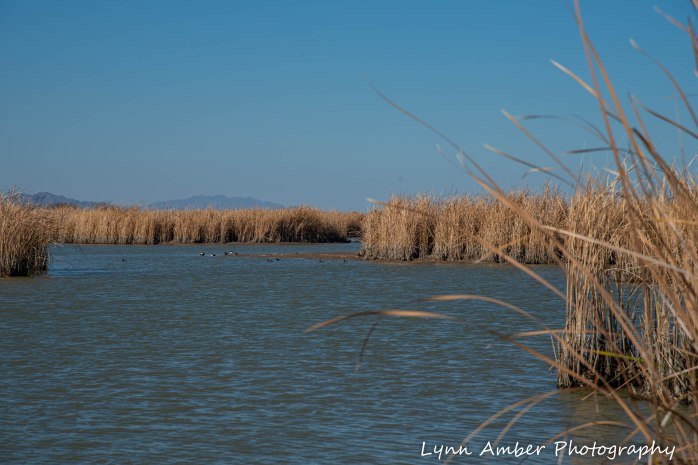 Cibola National Wildlife Refuge Hart Mine Marsh (2 of 2)