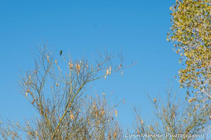 Cibola National Wildlife Refuge Hummingbird