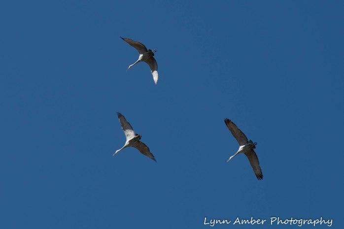 Cibola National Wildlife Refuge Sandhill Cranes 2