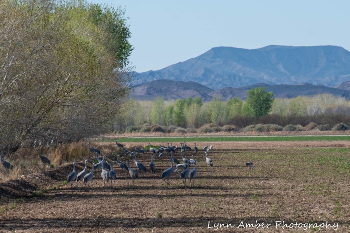Cibola National Wildlife Refuge Sandhill Cranes in field