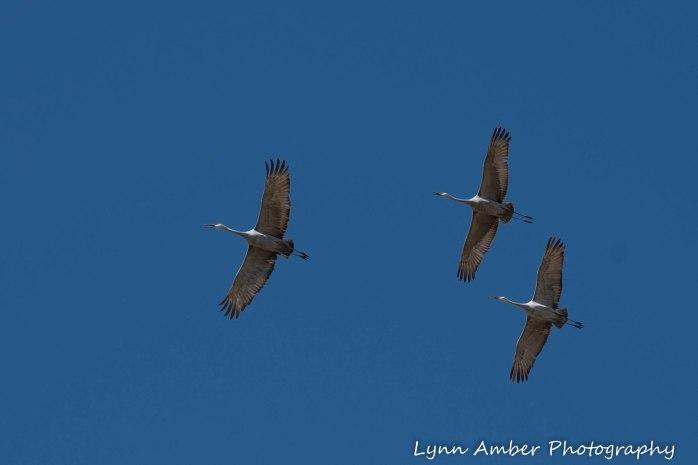 Cibola National Wildlife Refuge Sandhill Cranes