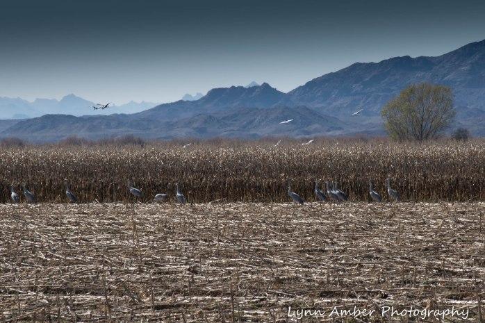 Cibola National Wildlife Refuge-Sandhills in corn field
